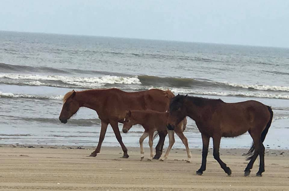 Baby Wild Horses on the Outer Banks
