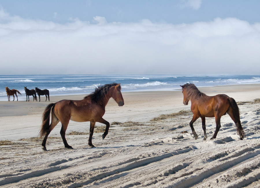 Outer Banks Wild Horse Tours